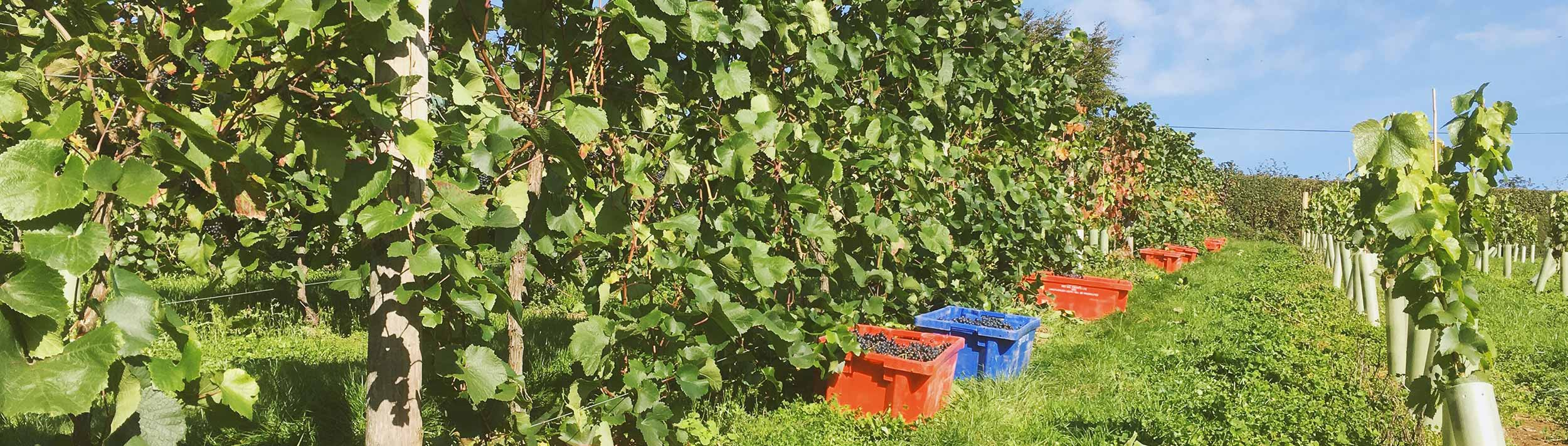 bumper crop of rondo grapes picked 2018