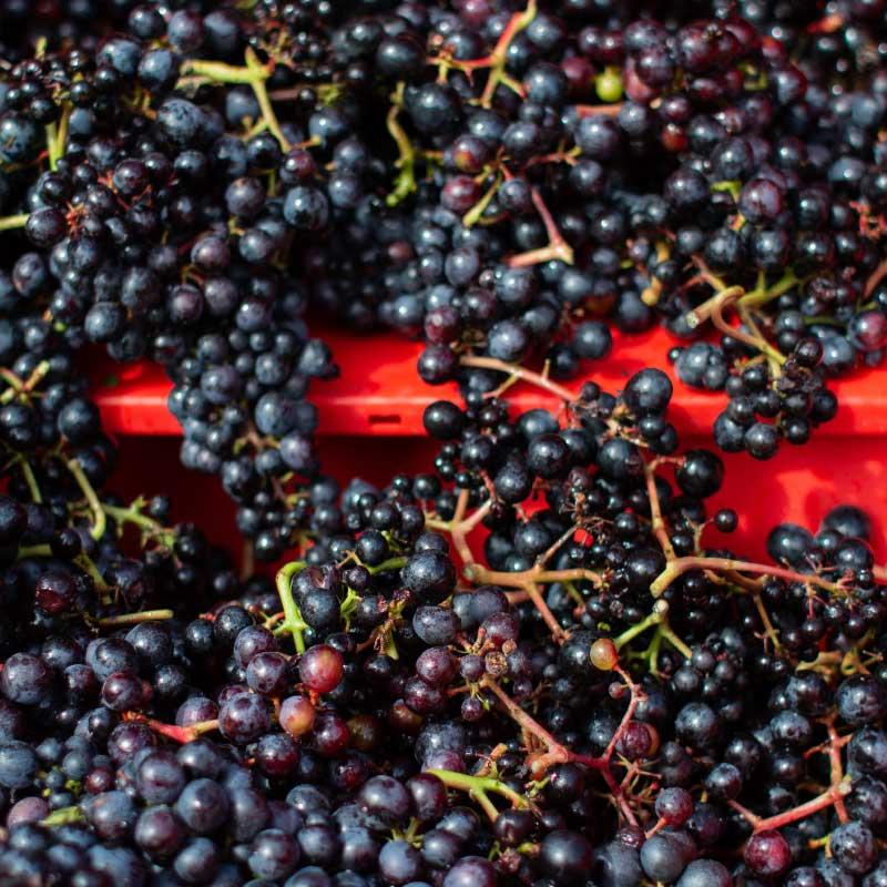 Rondo harvest at our Devon vineyard