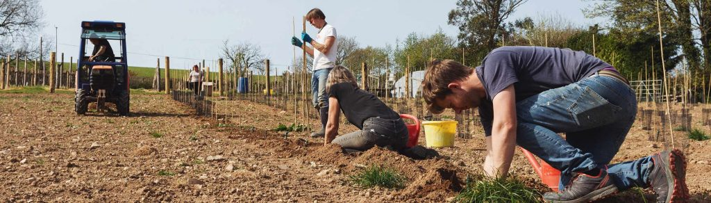 planting English sparkling wine in devon