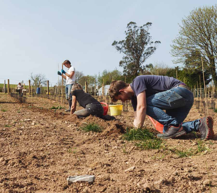 Planting the vines to make English wine on Dartmoor