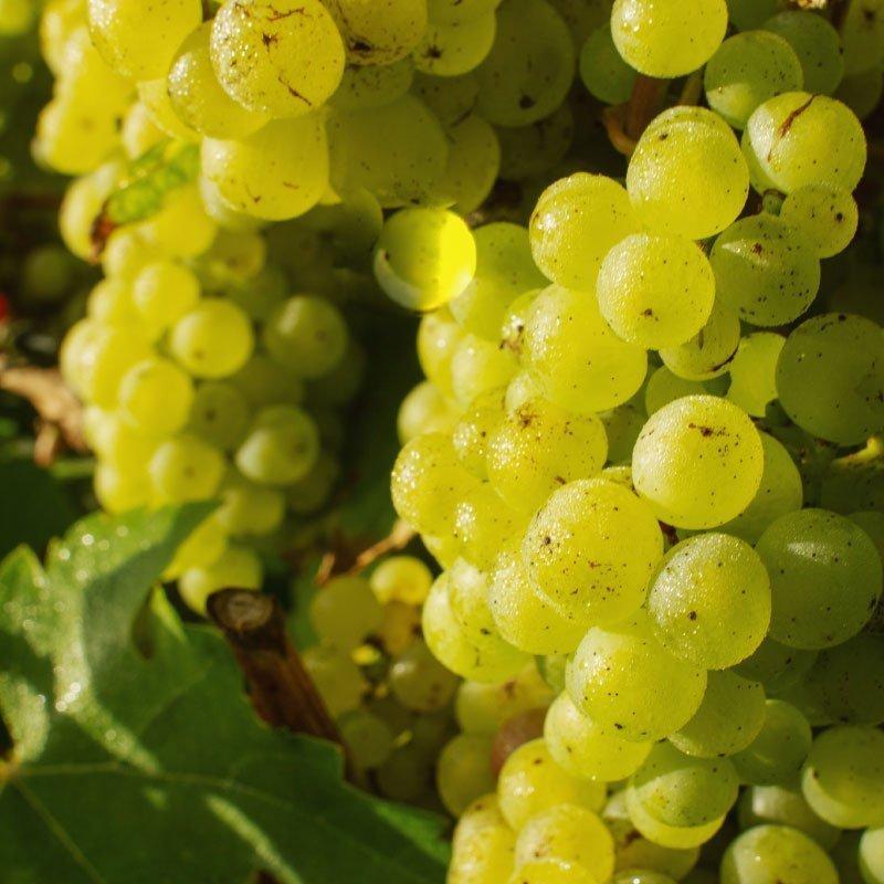 Grapes Bottle - Madeleine Angevine Sparkling